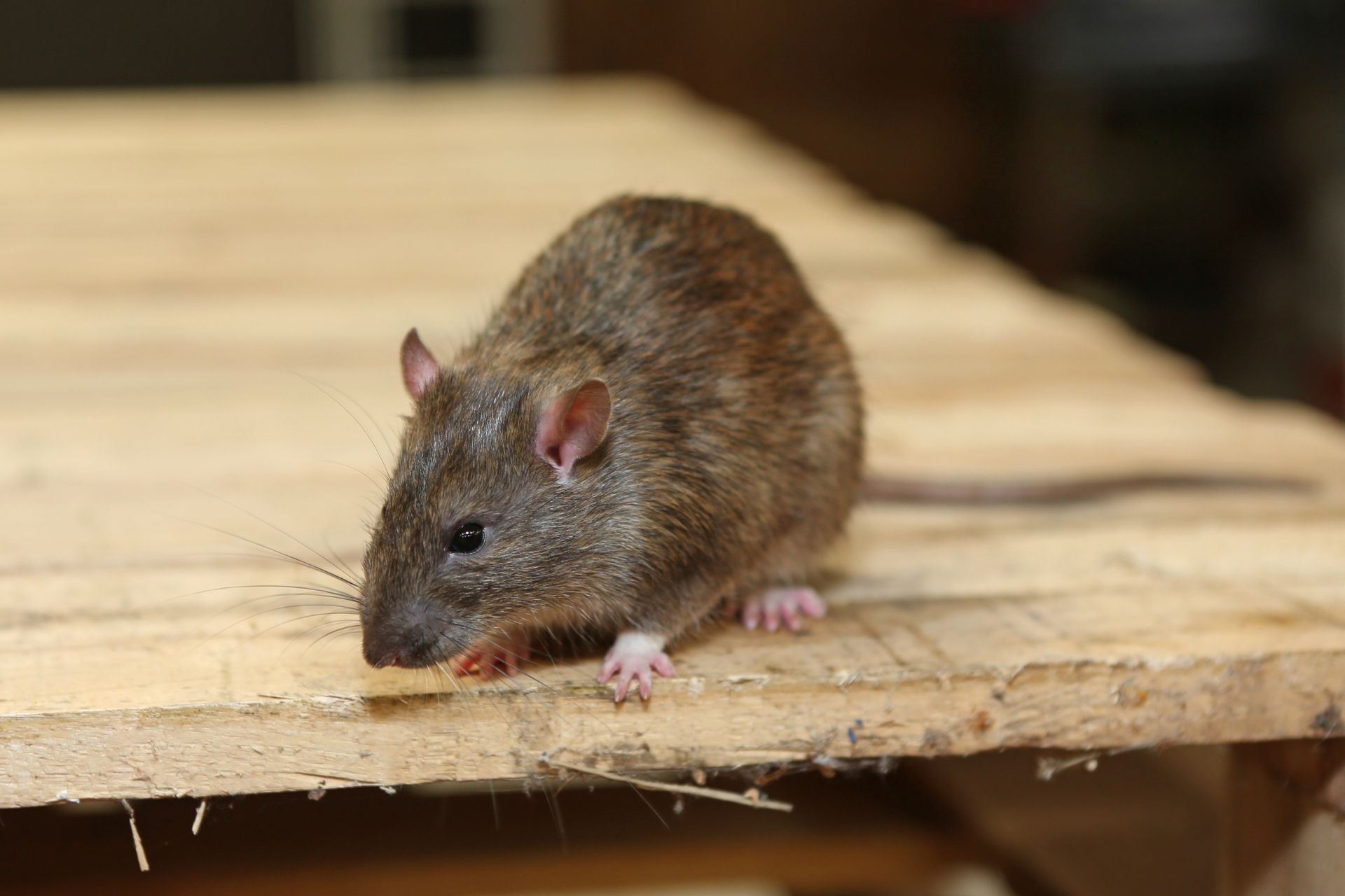 Rat extermination, Pest Control in Pimlico, SW1. Call Now 020 8166 9746