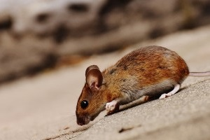 Mouse extermination, Pest Control in Pimlico, SW1. Call Now 020 8166 9746