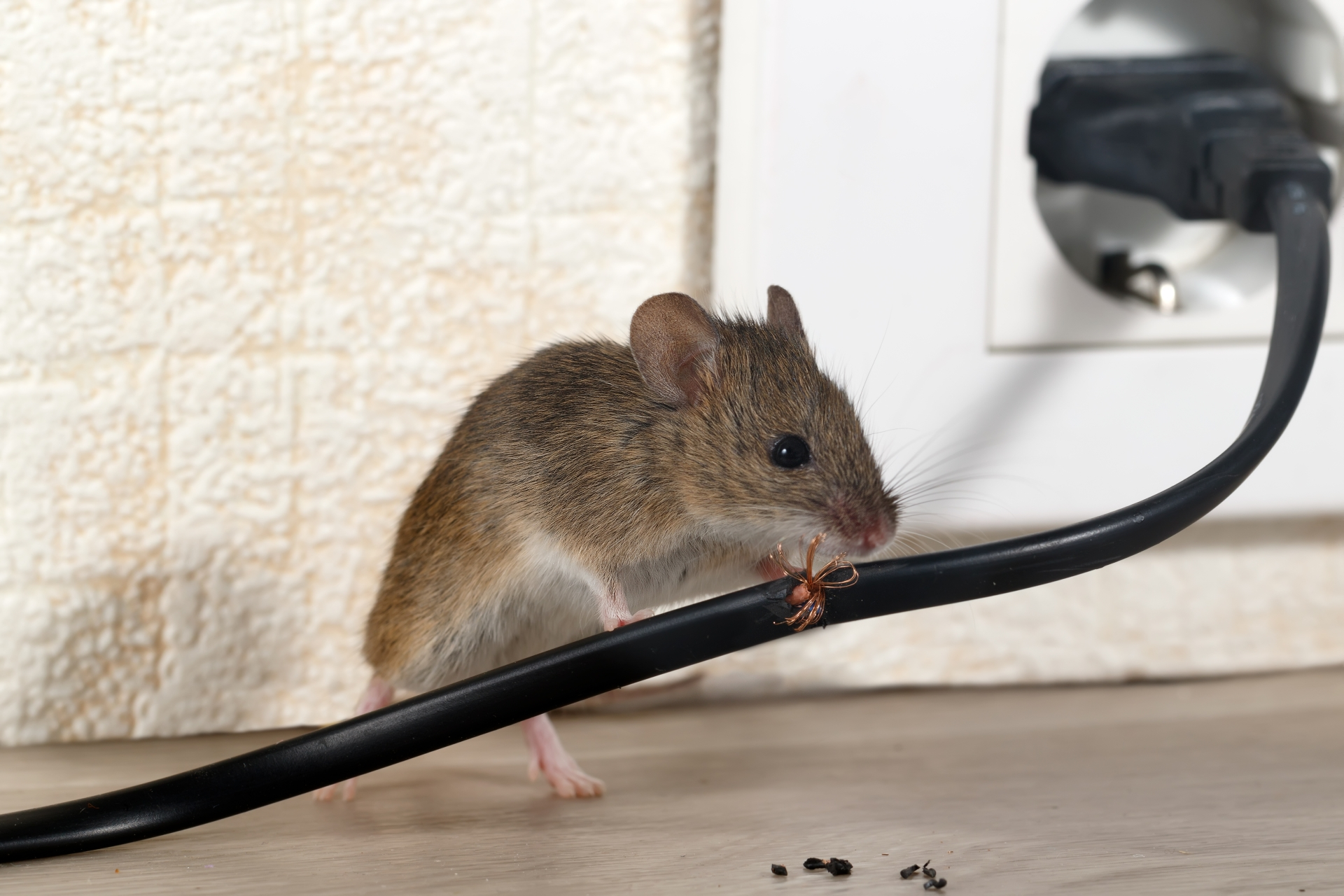 Mice Infestation, Pest Control in Pimlico, SW1. Call Now 020 8166 9746